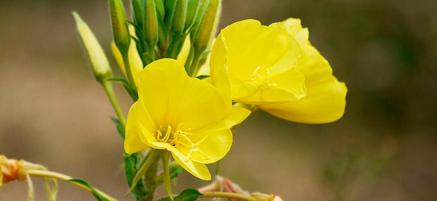 Flor de onagra para aceite de onagra prensado en frio